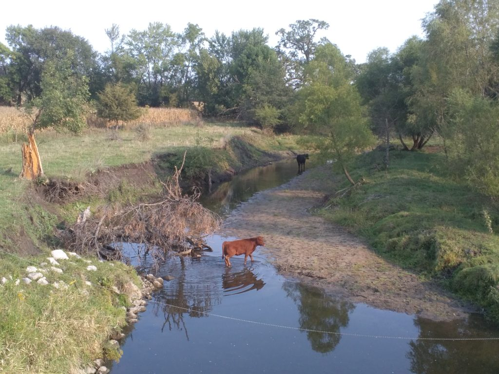 cow in a stream