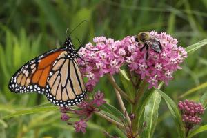 Monarch and Bumblebee on Swamp Milkweed