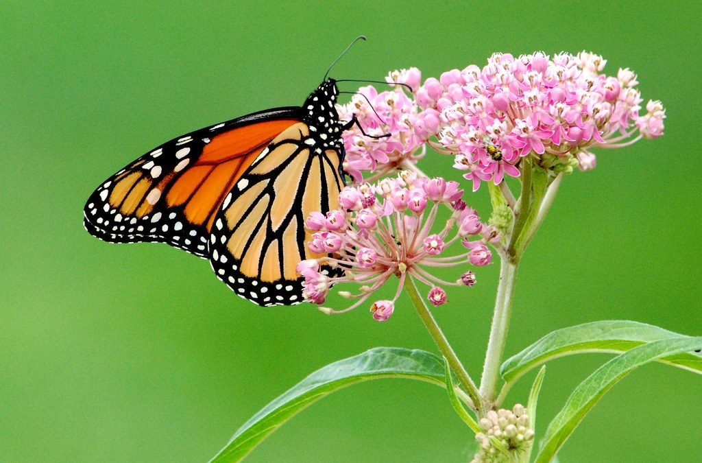 Missing Monarchs, What it Means, Why it Matters, and How to Help.